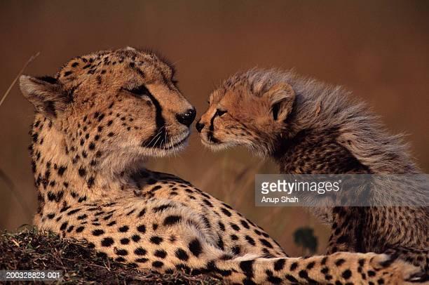 Cheetah mother and cub (Acinonyx jubatus) face to face, Kenya