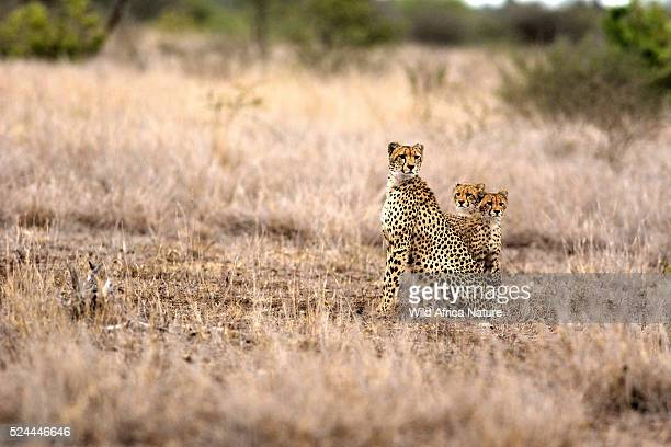Cheetah mother and kids