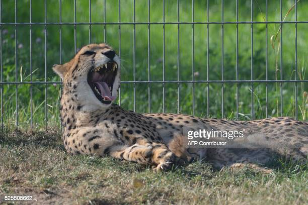 Cheetah mother Savannah and its cub rest in their enclosure at the Zoo on August 3 2017 in Prague The animals two females and three males were born...