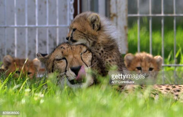 Cheetah mother Savannah plays with its cub in their enclosure at the Zoo on August 3 2017 in Prague The animals two females and three males were born...