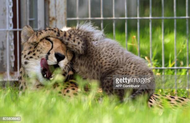 Cheetah mother Savannah plays with its cub rest in their enclosure at the Zoo on August 3 2017 in Prague The animals two females and three males were...