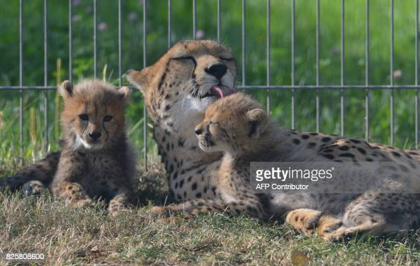 Cheetah mother Savannah plays with its cubs rest in their enclosure at the Zoo on August 3 2017 in Prague The animals two females and three males...