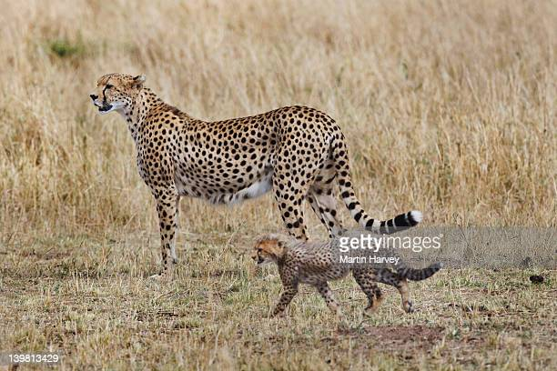 Cheetah (Acinonyx jubatus) Mother with cub, Masai Mara National Reserve, Kenya, Africa
