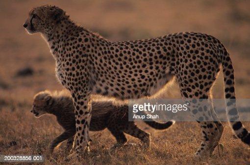 Cheetah mother with cub (Acinonyx jubatus), standing side by side on savannah, Kenya : Stock Photo