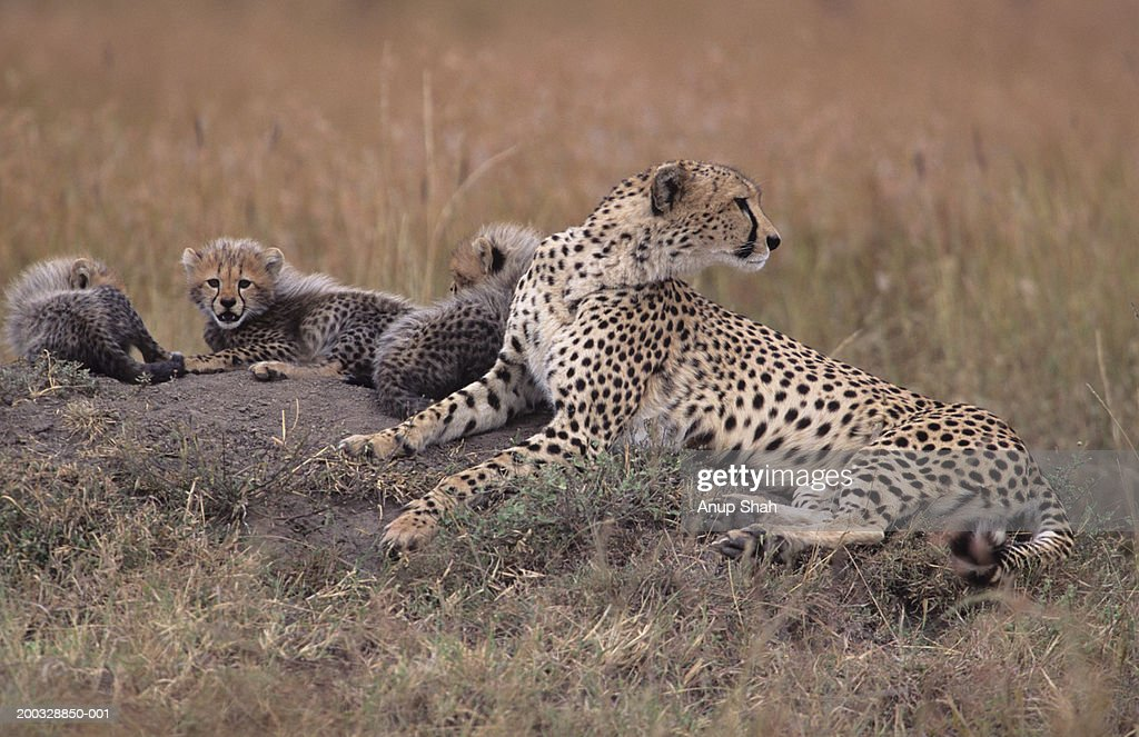 Cheetah mother with three cubs (Acinonyx jubatus) sitting on savannah, Kenya : Stock Photo