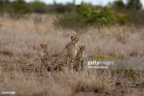 Cheetah mother with young