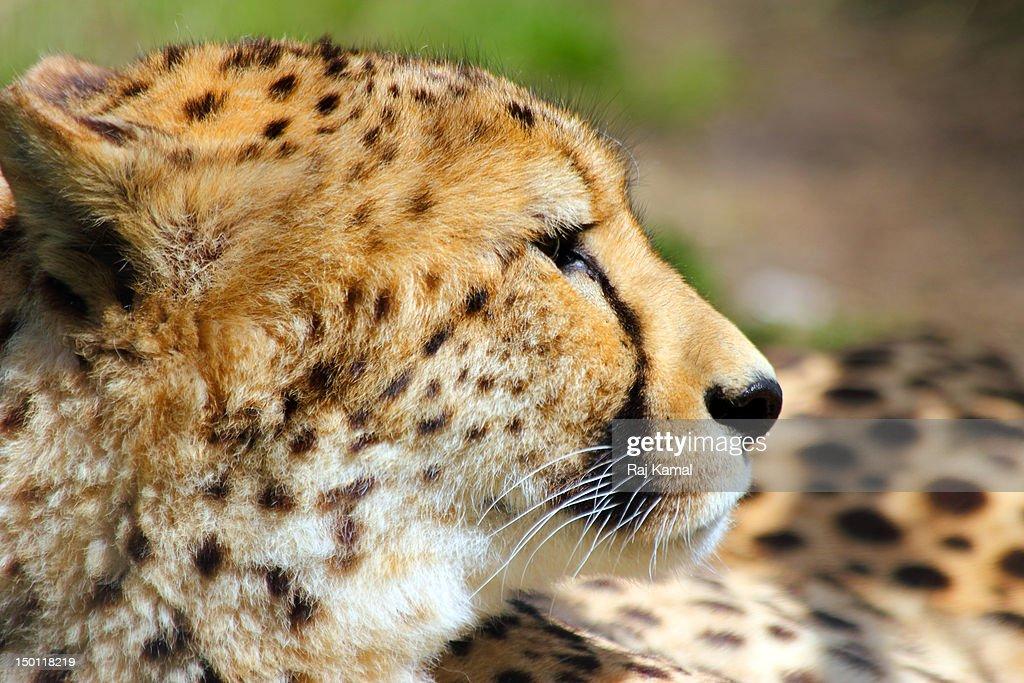 Cheetah observing (Acinonyx jubatus).Africa : Stock Photo