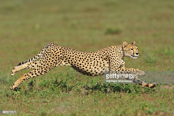 cheetah of Serengeti