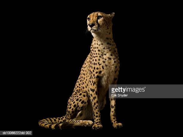 Cheetah on black background