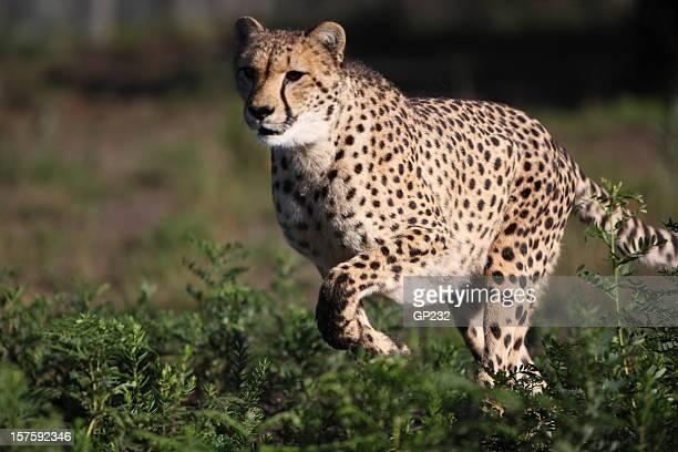 Geparden auf der Jagd