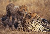 A Cheetah Parent and a Child, Differential Focus, Side View