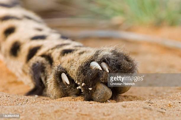 Cheetah (Acinonyx jubatus), paw and claws, Namibia, Africa