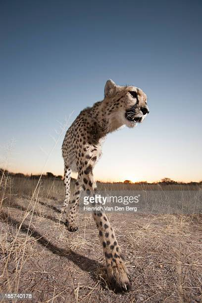 A Cheetah peering from behind a tree branch.