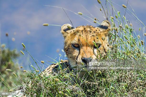 Cheetah peers through grass in Serengeti Park.