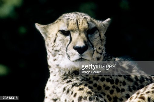 Cheetah : Stock Photo