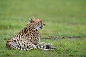 cheetah in the Masai Mara to foray