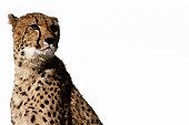 Cheetah (Acinonyx jubatus )