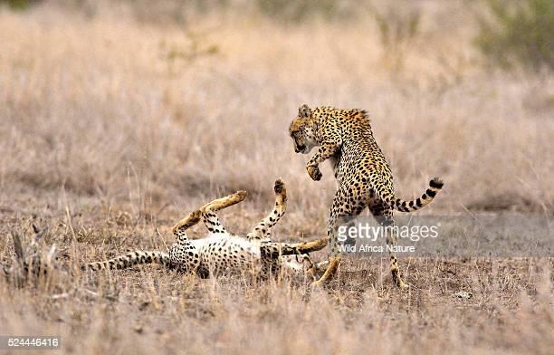 Cheetah playing