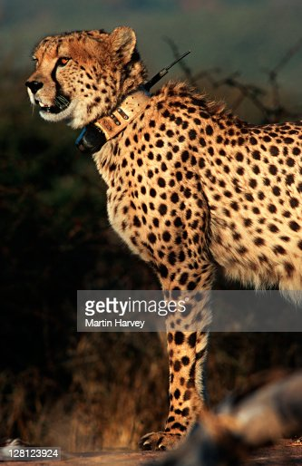 Cheetah (Acinonyx jubatus) Radio collar used in research project to monitor movement. Africat Foundation, Namibia , Africa : Stock Photo