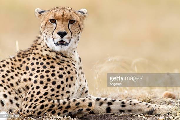 Guépard se reposer, parc de Masaï Mara, Kenya