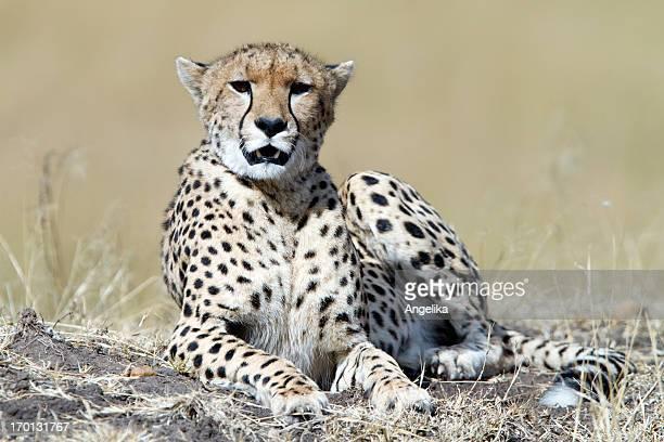 Cheetah resting, Masai Mara Park, Kenya