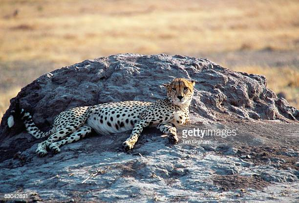 A cheetah resting on an old termite mound Moremi Game Reserve Botswana Africa