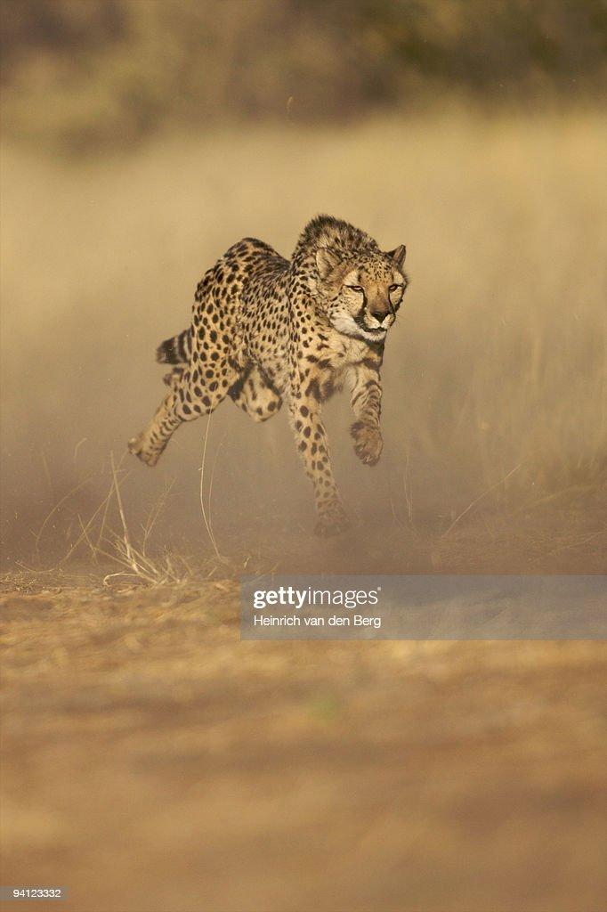 Cheetah Running At Full Speed Namibia Stock Photo | Getty ...