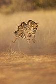 Cheetah (Acinonyx jubatus) running at full speed, Namibia.