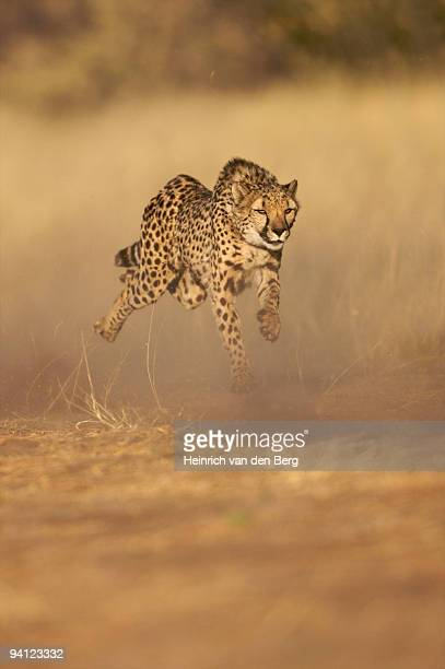 Cheetah (Acinonyx jubatus) running at full speed, Namibia.