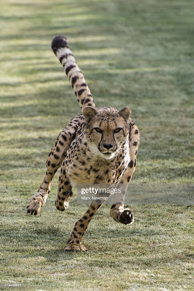 cheetah running fast stock photo getty images