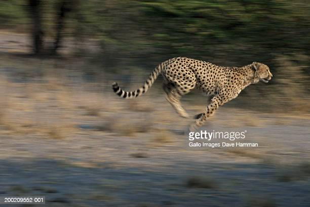 Cheetah (Acinonyx jubatus) running in field, side view