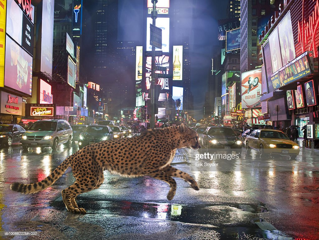 Cheetah running in front of cars on street at night : Stock Photo