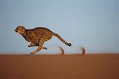 Cheetah (Acinonyx jubatus) running on dune ridge, profile
