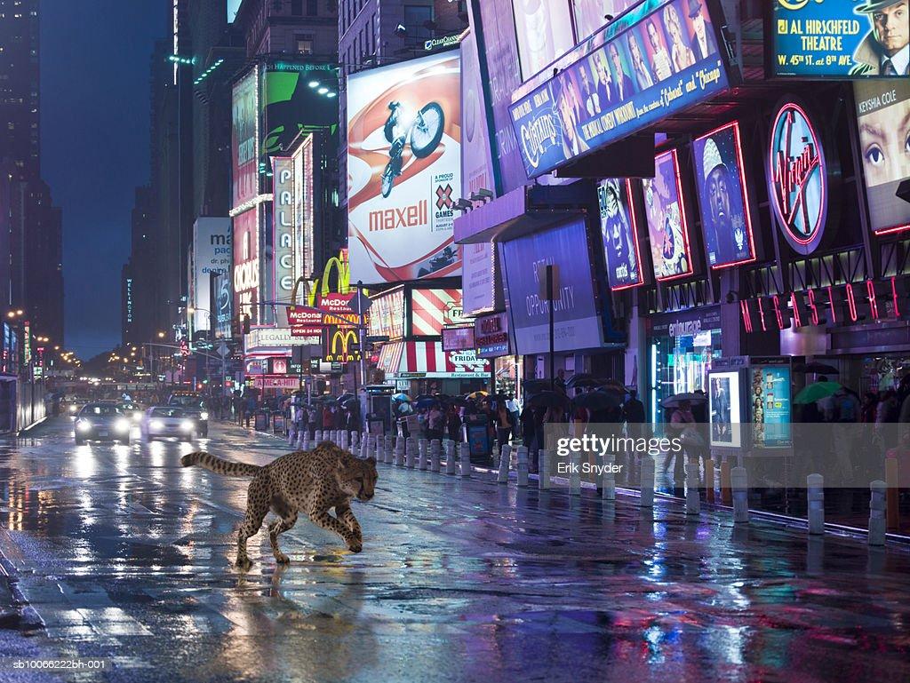 Cheetah running on street at night : Stock Photo