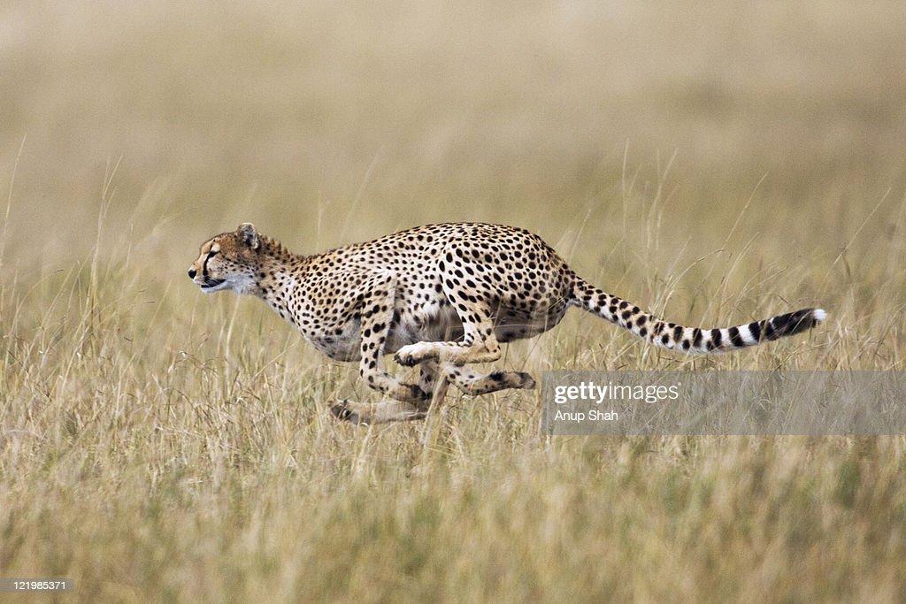 Cheetah running : Stock Photo