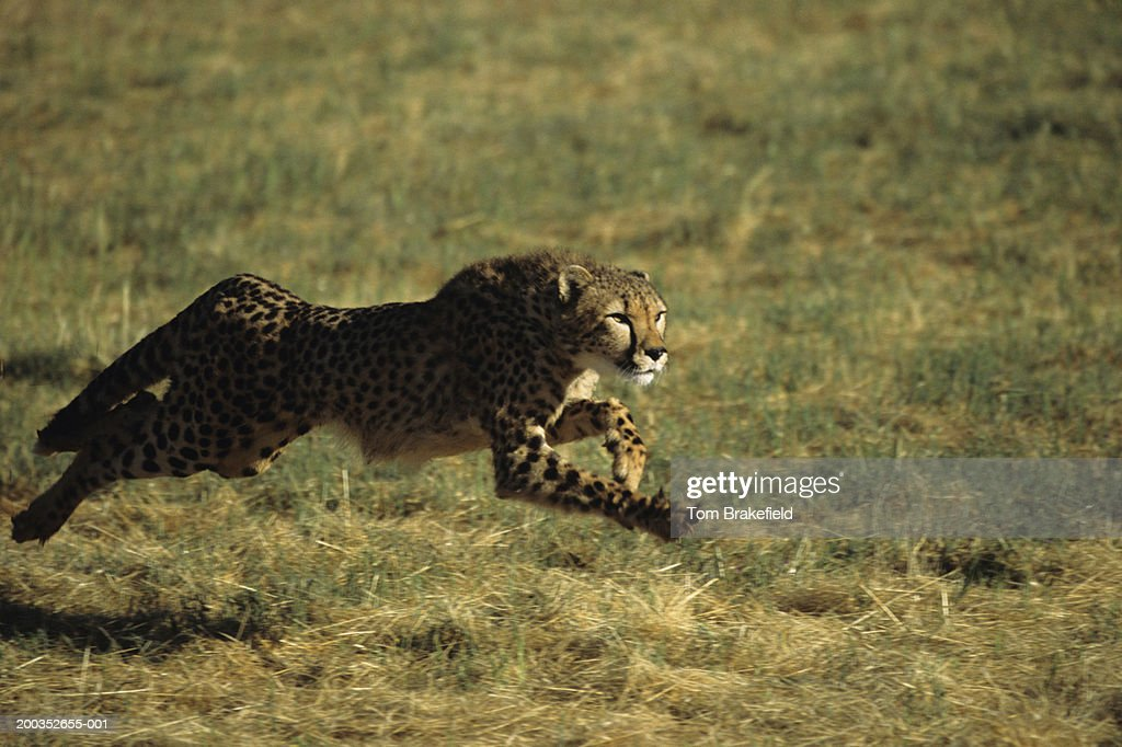 Cheetah (Acinonyx jubatus) running : Stock Photo