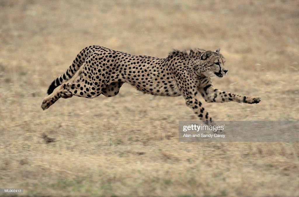 Cheetah (Acinonyx jubatus) running : Stock Photo
