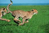 Cheetah running (Acinonyx jubatus)