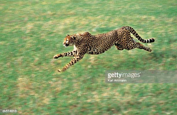 Cheetah running (Acinonyx jubatus)