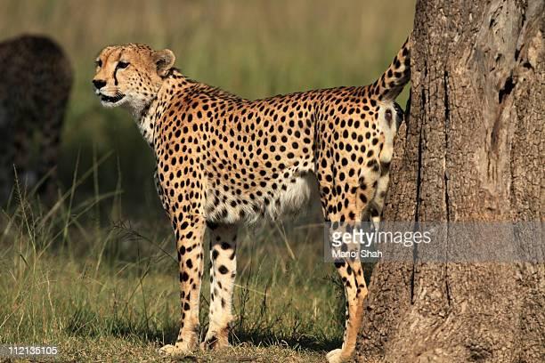 Cheetah  scent marking a tree