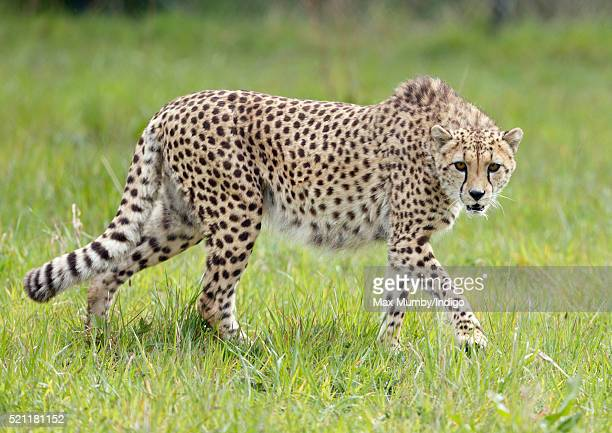 A cheetah seen in it's enclosure at the Wild Place Project at Bristol Zoo on April 14 2016 in Bristol England