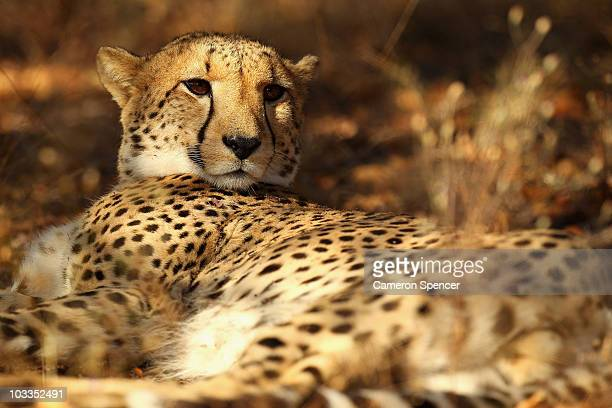 A cheetah sits under a tree on July 20 2010 in the Edeni Game Reserve South Africa Edeni is a 21000 acre wilderness area with an abundance of game...