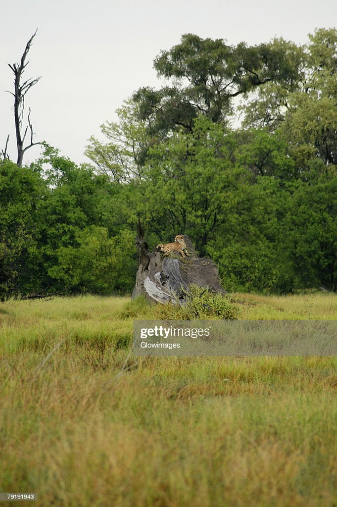 Cheetah (Acinonyx jubatus) sitting on a tree stump in a forest, Okavango Delta, Botswana : Stock Photo
