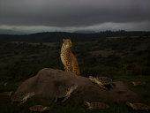 Cheetah sitting on rock, turtles crawling on ground