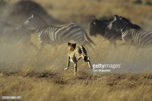Cheetah stampeding with zebras and wildebeests