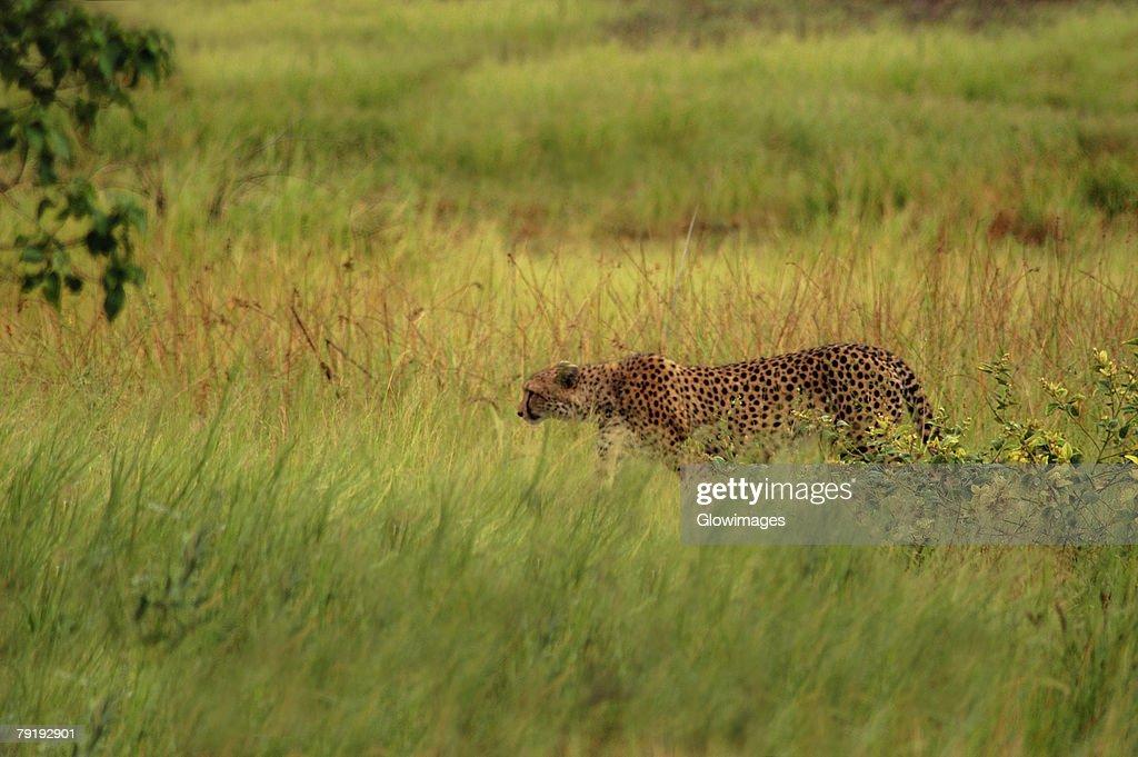 Cheetah (Acinonyx jubatus) standing in a forest, Okavango Delta, Botswana : Foto de stock