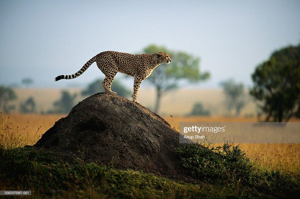 Cheetah (Acinonyx jubatus) standing on rock, side view, Masai Mara, Kenya : Stock Photo