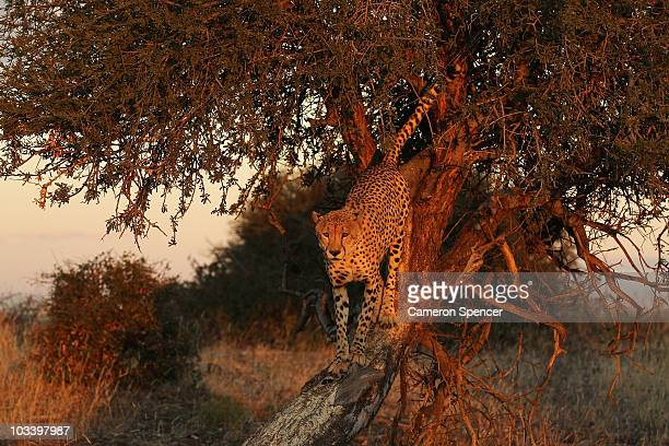 A cheetah stands in a tree at the Mashatu game reserve on July 24 2010 in Mashatu game reserve Botswana Mashatu is a 46000 hectare reserve located in...