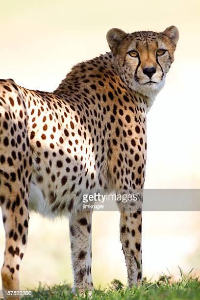 Cheetah staring back towards camera.