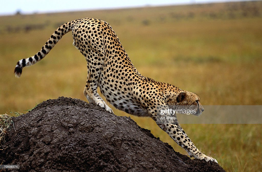 Cheetah (Acinonyx jubatus) stretching on rock, Kenya : Stock Photo